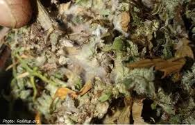More Mouldy Weed