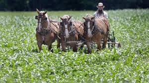 """Amish Hemp Farmers, """"please stop stealing our hemp it won't get you high"""""""
