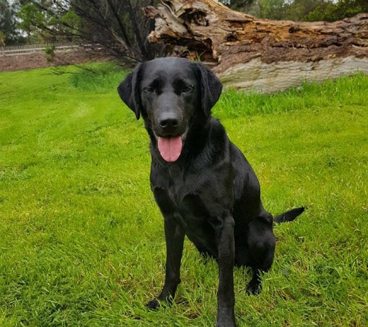 Ooops ! Couple arrested after Ziggy the K9 dog sniffs out 50kg of cannabis bound for Sydney At Adelaide Airport