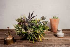 """UK: """"A search found drug paraphernalia, cannabis in small bags and three cannabis plants on the kitchen table."""