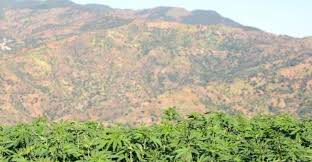 Foreign Hybrid Cannabis Snuffing Out Heritage Moroccan Strains