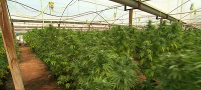 South Australia: Three men arrested after mass cannabis crop discovered