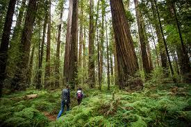 Over 10,700 illegal marijuana plants eradicated in Humboldt County