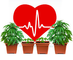 Is marijuana bad for your heart? Evidence is complicated – but doctors are concerned