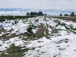 Colorado Cold Snap Not Good For Weed Growers