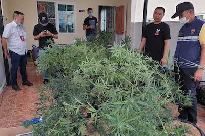 Thailand: Argentinian caught growing cannabis