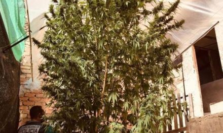 Spain – Police Bust Couple With 5 Metre Tall Weed Tree !