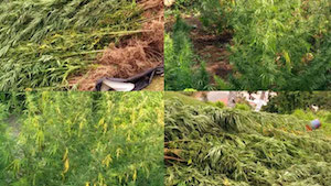 Fiji: 5000 marijuana plants uprooted in Kadavu