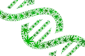 """""""Green"""" Genes? Study Sparks New Thinking About Cannabis Use Disorder"""
