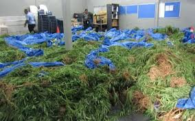 Arrest in Samoa over weed shipment