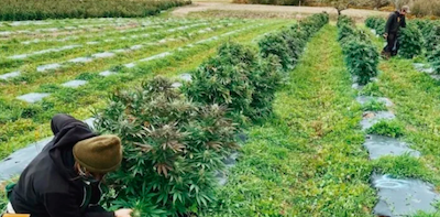Maine's Hemp Market Is In Tatters