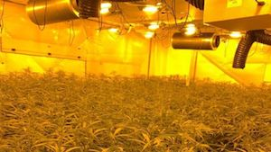 Police raid large cannabis factory in London as five men arrested