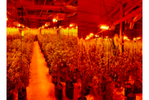 Ottowa: Seven arrested, more than 5,000 cannabis plants seized in South Glengarry Township
