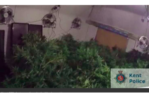 UK – Caught in Kent… 200 cannabis plants found in property in Flood Street, Mersham, near Ashford