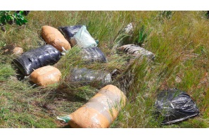 South Africa: Rand2m ($US140K) cannabis  found strewn around timber plantation in Vryheid !