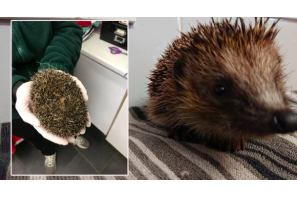 UK: Group of boys were spotted blowing cannabis smoke into a bag containing a hedgehog before throwing it into a river