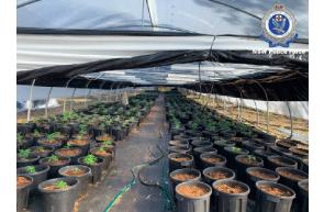 Australia- NSW: Smoking bush reveals $6 million cannabis crop on Mid North Coast