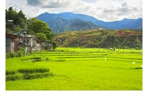 Philippines:  P192.9 million marijuana seized in Kalinga